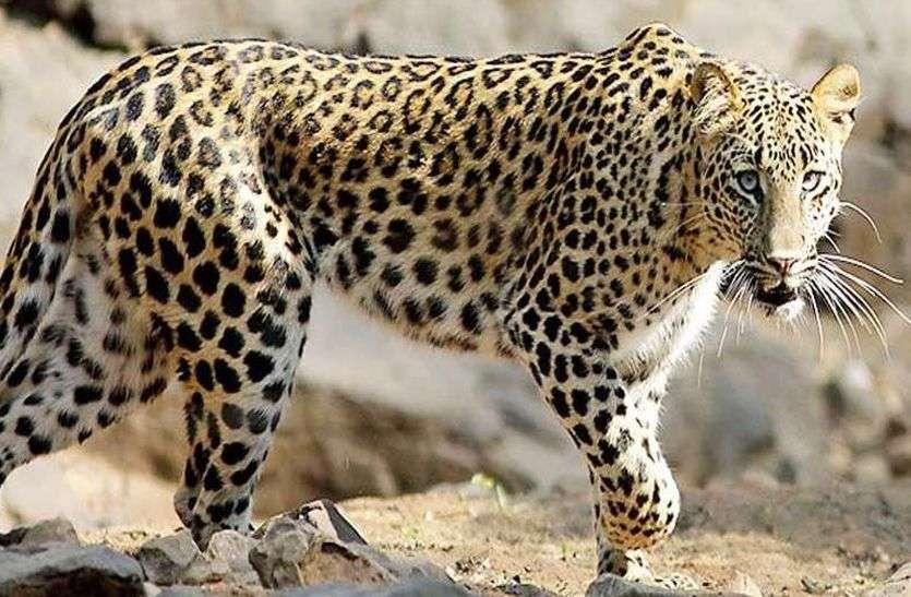Panther attack  : फिर इस क्षेत्र के ग्रामीणों में दहशत