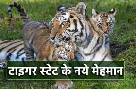 संजय टाइगर रिजर्व से आई खुशखबरी, बाघिन टी-21 ने जन्मे दो शावक