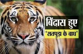 जंगल में खत्म हुआ इंसानी दखल तो बिंदास हुए 'सतपुड़ा के बाघ'