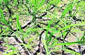 सूखा सावन : रीवा में 50 दिन में 513.3 मिमी बारिश,  सूखा जैसे हालात
