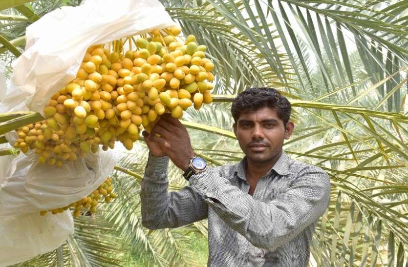 Ahmedabad News : खजूर की खेती कर नई राह बना रहे गुजरात के किसान