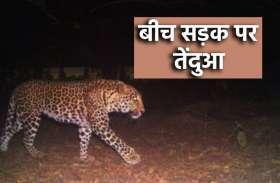 बीच सड़क पर तेंदुए ने जमाया डेरा, पटाखे फोड़ने के बाद छोड़ा रोड़