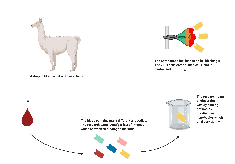 दावा: लामा के नैनोबॉडी से बना नेजल स्प्रे कोरोना से लडऩे में मास्क-पीपीई किट से ज्यादा कारगर