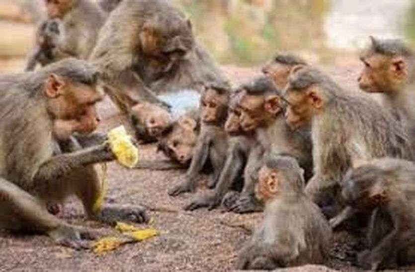 बंदरों की टोली ने युवक को धक्का मारकर छत से नीचे गिराया, गंभीर हालत में रेफर