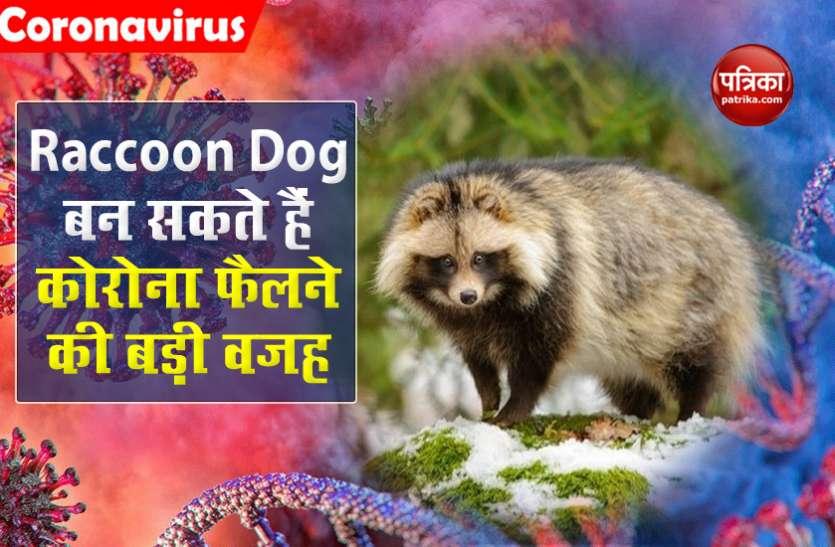 क्या Raccoon dogs बन सकते हैं कोरोना के एक खतरनाक रूप SARS-CoV-2 के फैलने की वजह?