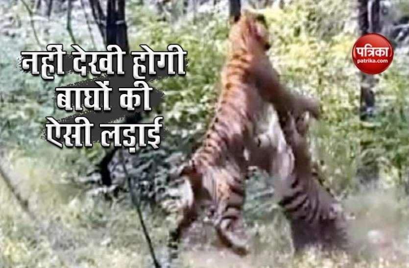 जंगल में दो Tiger के बीच हुई खतरनाक लड़ाई, वायरल हो रहा है खड़े होकर हमला करने वाला Video