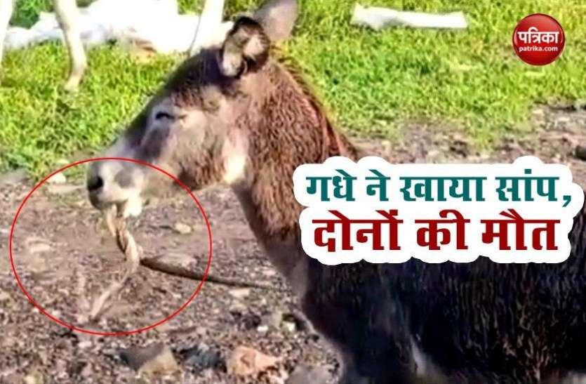 OMG: गधे ने घास समझ कर खा लिया जहरीला सांप, दोनों की मौत