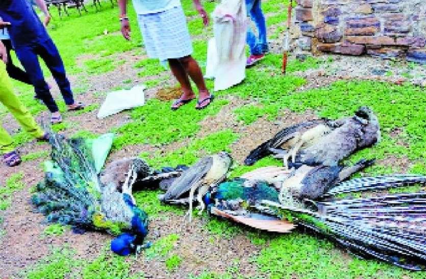 ...ऐसा क्या हुआ कि 12 मोरों ने ग्रामीणों के सामने तड़पते हुए दम तोड़ दिया