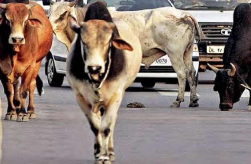 अगर आप भी हैं पशु प्रेमी तो पालिए छुट्टा गोवंश, सरकार देगी इतना रुपये