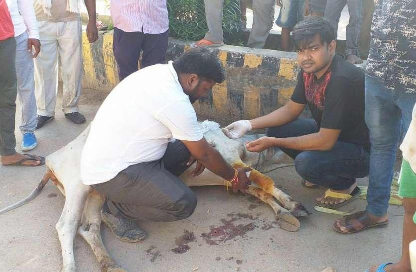रोड पर बैठी गाय को ट्रक ने रौंदा, गुस्साए गोसेवकों ने लगाया जाम