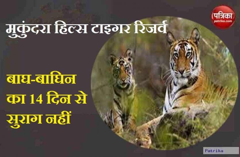 14 दिन से बाघ-बाघिन का सुराग नहीं