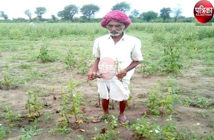 तिल की फसल पर खतरे के बादल, किसान चिंतित