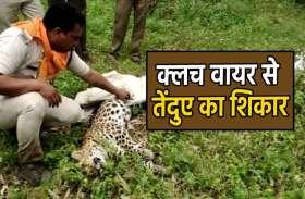 क्लच वायर से तेंदुए का शिकार, मजबूत फंदे में फंसा मादा तेंदुआ मौत