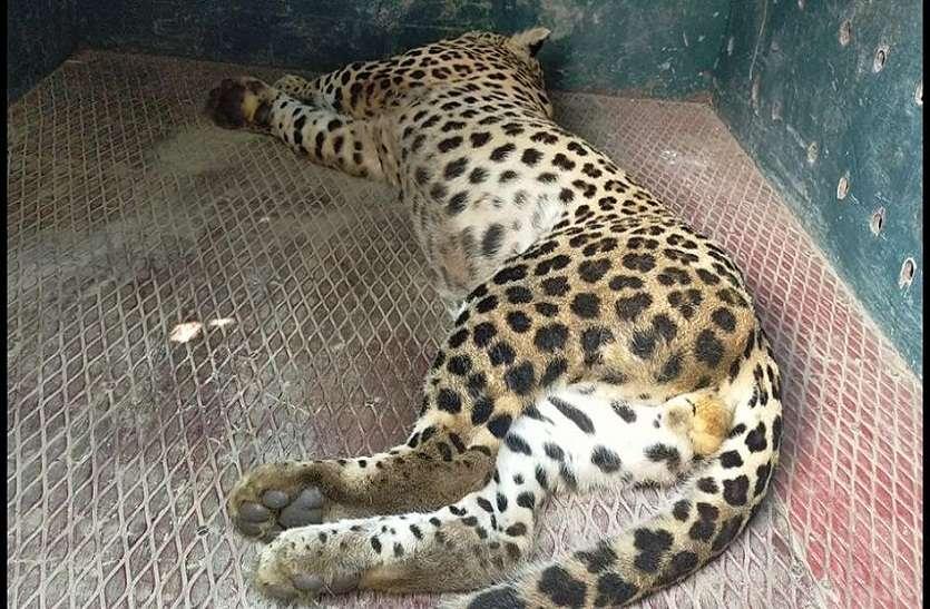 बाघ ने किया गाय का शिकार, ग्रामीणों में दहशत