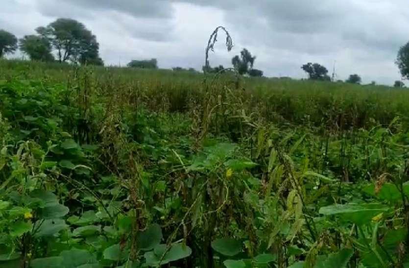 तिल की फसल में रोग से किसान चिंतित