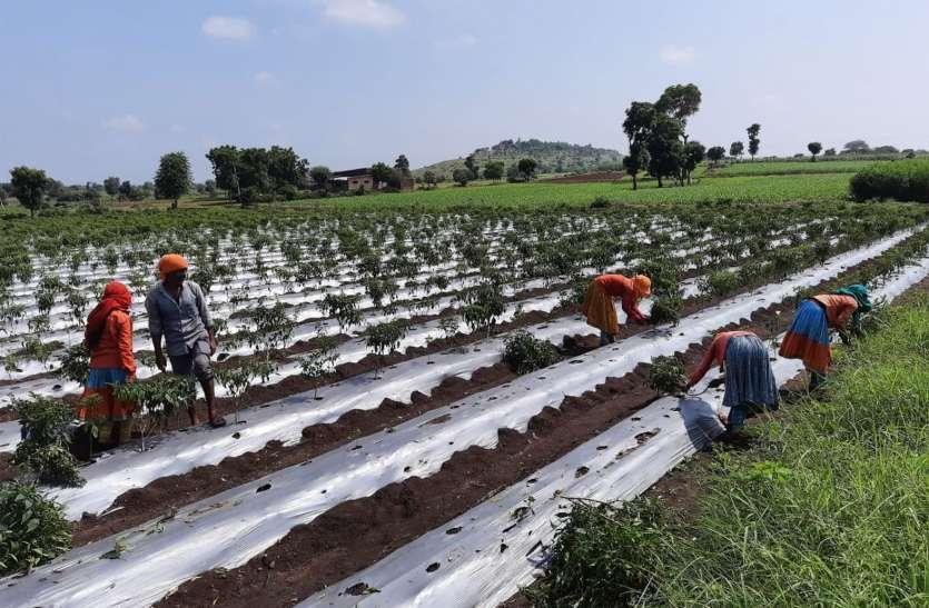 मिर्च फसल पर वायरस का अटैक, पौधे उखाड़ रहे किसान