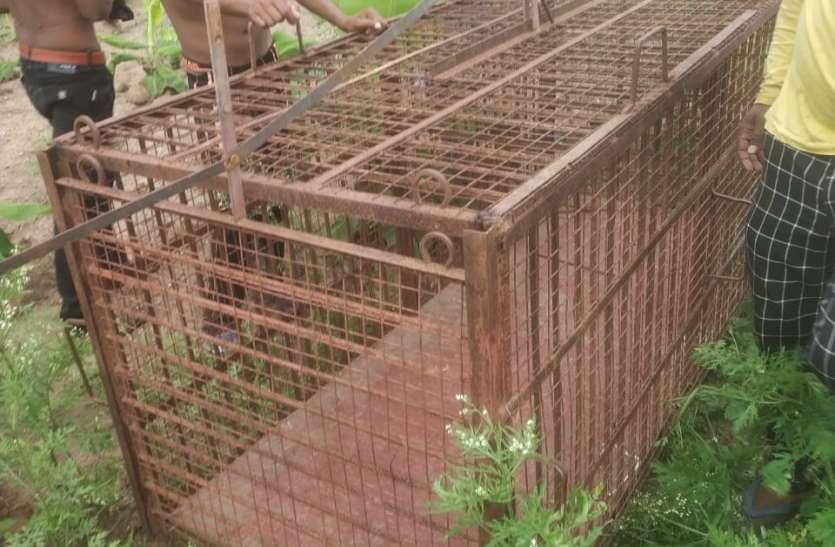 दूसरे दिन तेंदुए ने फिर किया शिकार, ग्रामीणों में दहशत
