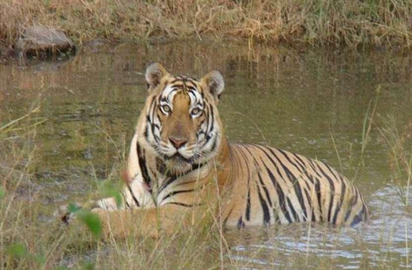 वाह जनाब, बाघ का सिर खा जा रहे मगरमच्छ, तो बाकी अंग कौन खा रहा, क्या पता चल पाएगा