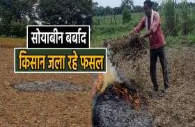 न के बराबर सोयाबीन का उत्पादन, किसान खुद लगा रहे फसल में आग