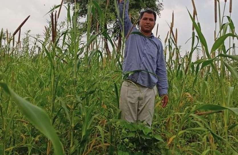 देसी बीज और जैविक खाद का कमाल, ग्यारह फीट का बाजरा
