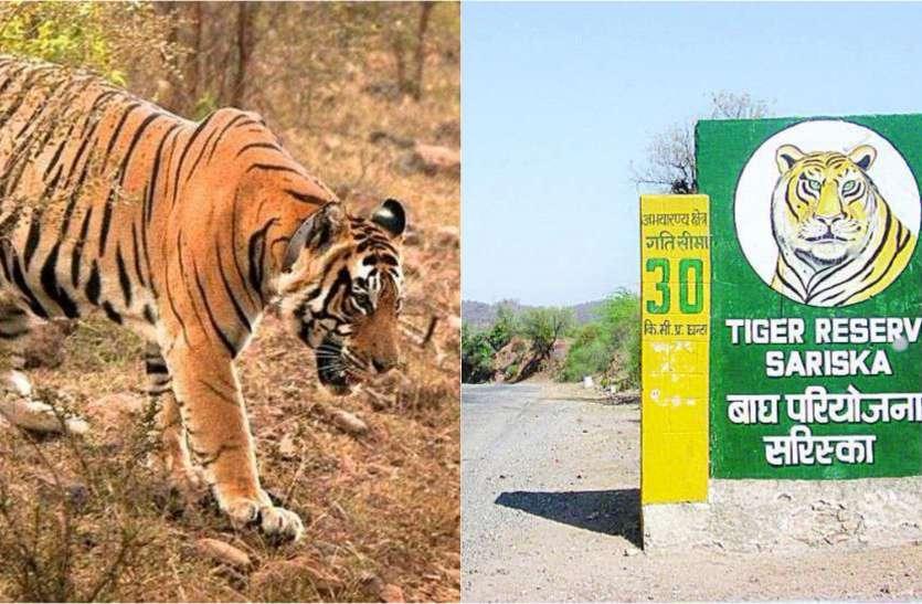 कोरोना के साए में पर्यटकों को बाघ दिखाने की तैयारी, एक अक्टूबर से पर्यटकों के लिए खुलेगा सरिस्का, जानिए नियम