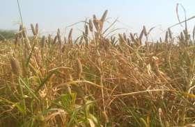 किसानों को मेहनत को चट कर रही यह बीमारी
