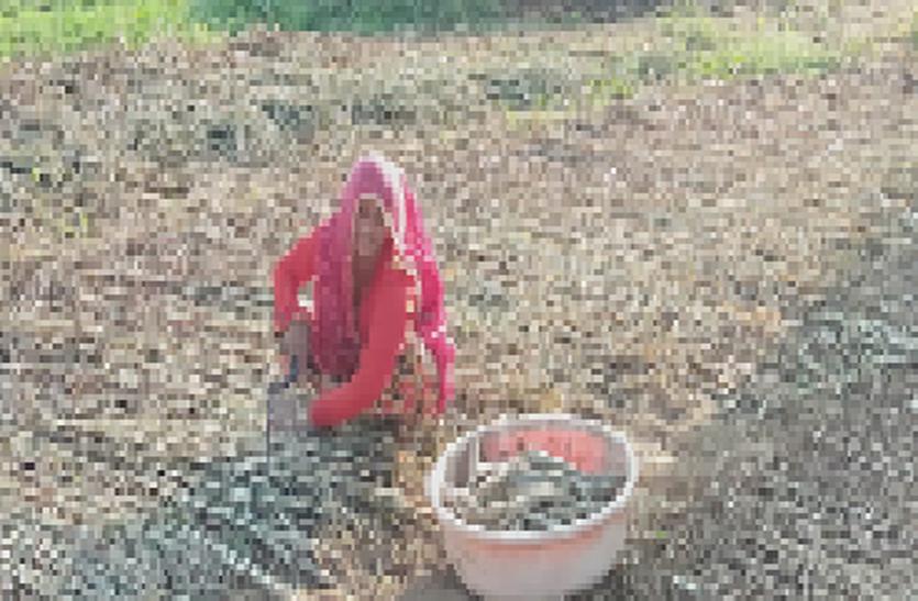 Agriculture farming : बाजरे के सिट्टे में नुकसान