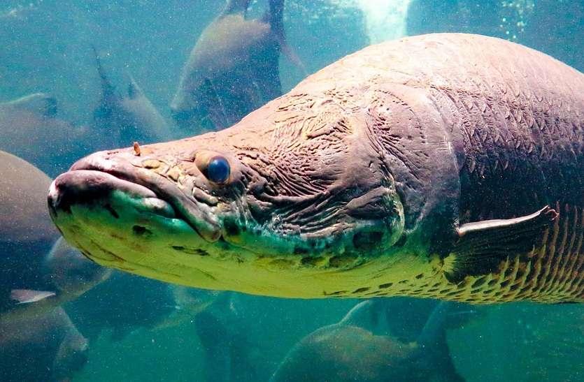 इस मछली को कुदरत ने दिया है 'बुलेट प्रूफ जैकेट'