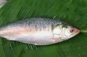 जाल में फंसी 2.5 किलो की दुर्लभ मछली, कीमत जानकर उड़ जाएंगे होश, भारत में केवल मिलती है यहां