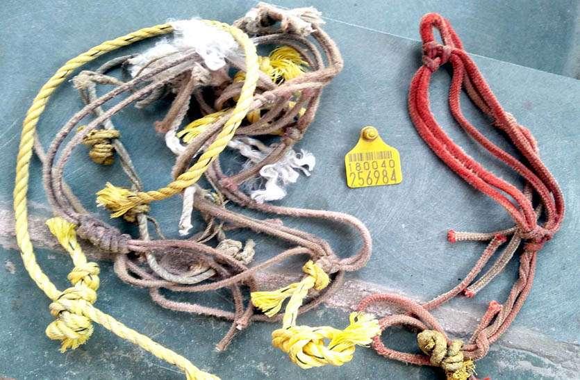चोरी गई भैंसों के मिले टेग व रस्सियां, आठ दिन बाद चोर गिरोह के खिलाफ हुआ मामला दर्ज