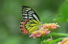 राजस्थान में मिलने वाली 'कॉमन जेजेबेल' राष्ट्रीय तितली बनने की दौड़ में