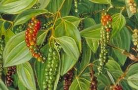 ऑस्ट्रेलियन टीक के साथ कालीमिर्च की फसल, महासमुंद के किसान ने पौन एकड़ में पहली बार किया प्रयोग