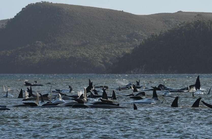 PILOT WHALES : तस्मानिया के तट पर आखिर क्यों मारी गई 380 व्हेल मछलियां