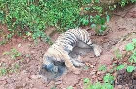 आपसी संघर्ष में बाघिन की मौत, डेढ़ दिन बाद दिखा बाघिन का शव