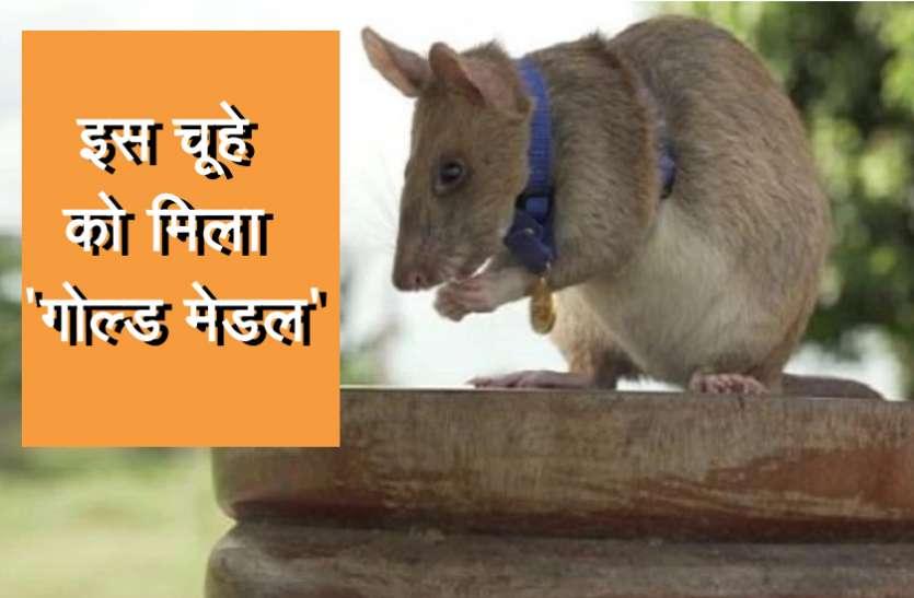 इस चूहे ने किया बहादुरी का काम, 'गोल्ड मेडल' से किया सम्मानित