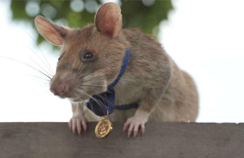 rat mangwa