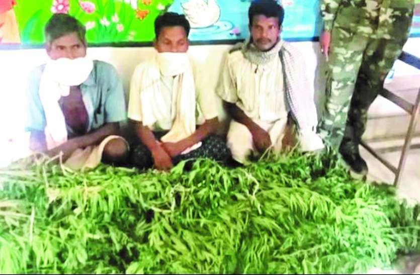 धान-मक्के की जगह 1 साल से कर रहे थे गांजे की खेती, 3 आरोपियों के खेत से 1 लाख 15 हजार का पौधा जब्त