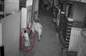 Watch Video: दादी को बचाने के लिए सांड से भिड़ा पोता, खुद घायल होने पर भी नहीं हारी हिम्मत