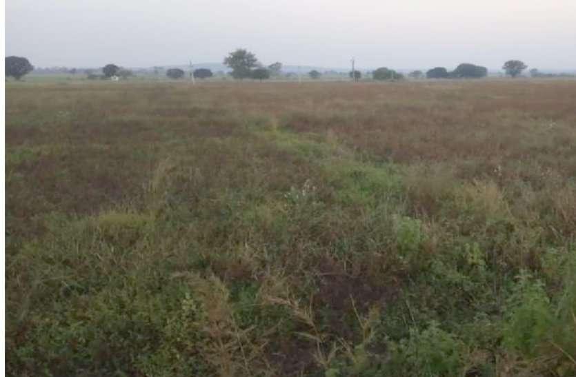 पीली पड़कर सूख रही सोयाबीन की फसल, किसान चिंतित
