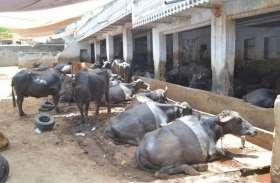 पशुपालकों की नुकसान की भरपाई करेगा पशुधन बीमा