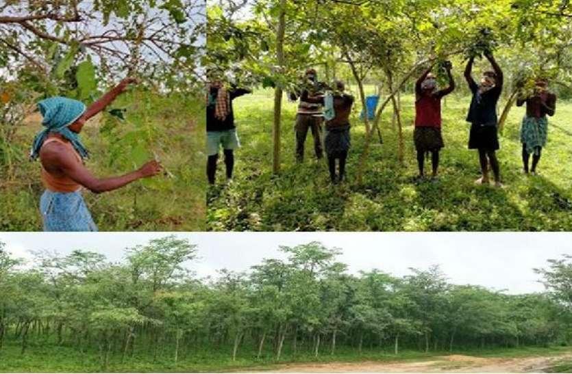 वनांचल के आदिवासी किसानों के लिए रेशम कीट पालन बना अतिरिक्त आय का जरिया