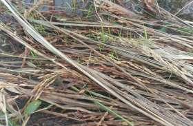 धान की बालियां अंकुरित, सरसों की फसल चौपट