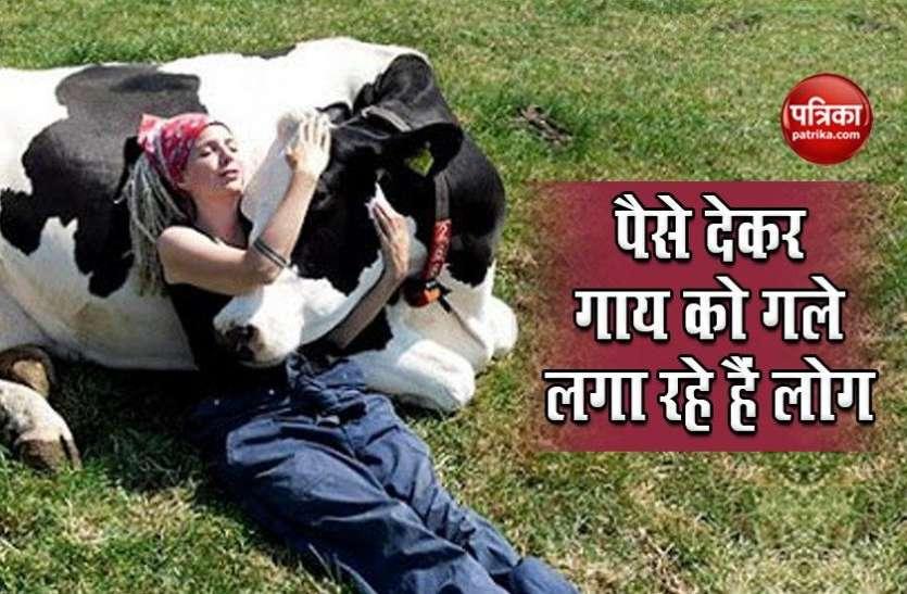 गाय को कुछ मिनट गले लगाने के लिए लोग खर्च कर रहे हैं हजारों रुपए, जानें वजह