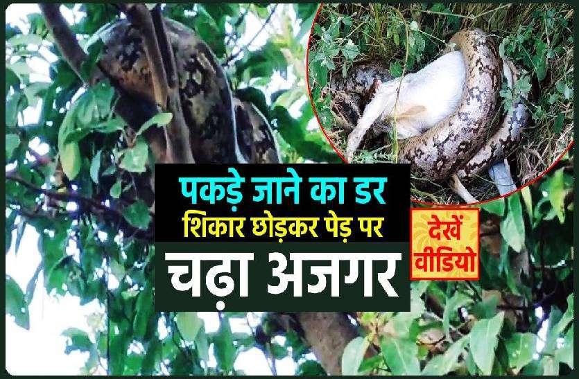 बकरी को निगल रहे अजगर ने वन विभाग के अमले को छकाया, शिकार छोड़कर पेड़ पर चढ़ा, देखें वीडियो