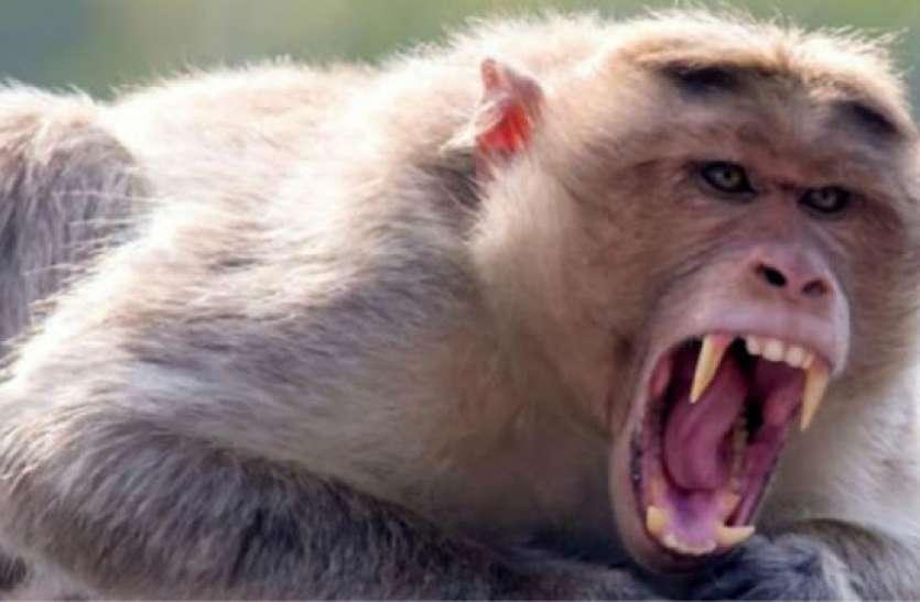 बंदरों के आतंक से खौफ में आए लोग, 20 दिन में 124 लोगों को बना चुके शिकार
