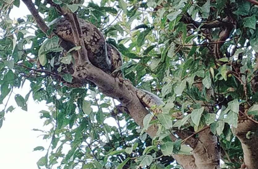 ये क्या.....बकरी को लपेट कर पेड़ के नीचे बैठा था अजगर, वन विभाग की टीम पकडने पहुंची तो चढ़ गया पेड़ पर (देखे वीडियो)