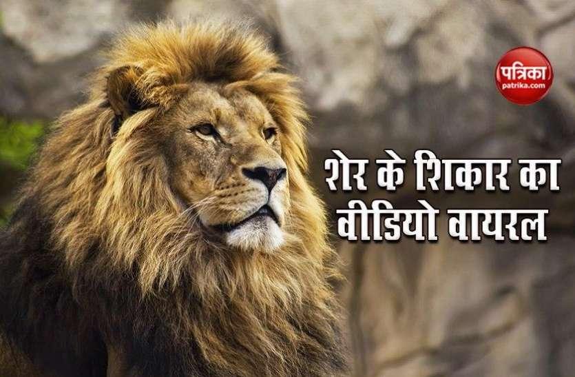 Gujarat: शेर का शिकार देखने के लिए जिंदा गाय की चढ़ाई बलि, Social Media पर Video Viral