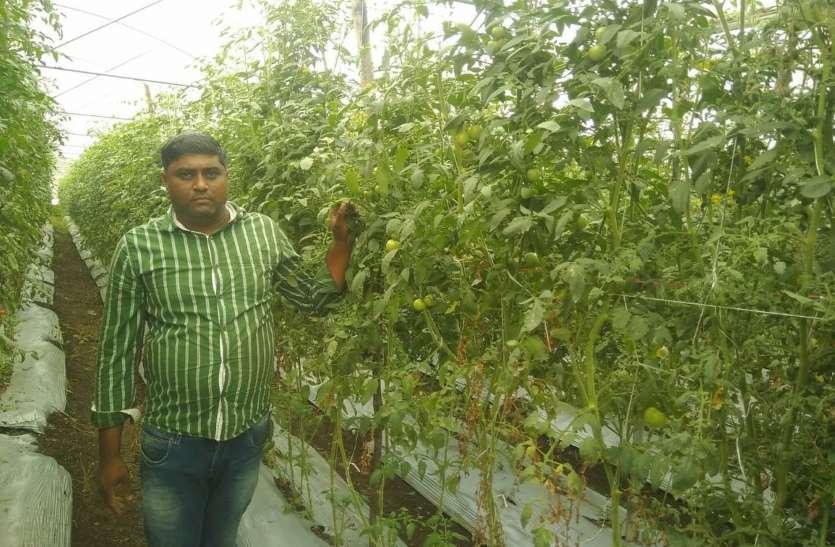 Right farming - नेट हाउस में मल्चिंग तकनीक से लगाए दस हजार टमाटर के पौधे , एक- एक पौधे में लगे दो-दौ सौ टमाटर