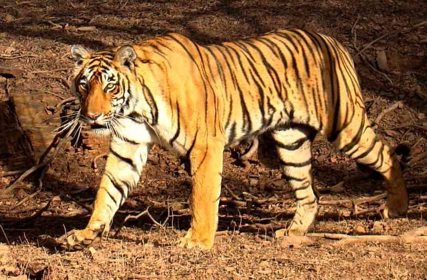 राजस्थान का यह बाघ है खतरों का खिलाड़ी, रणथम्भौर से चलकर धौलपुर और भरतपुर चला गया, फिर सरिस्का  लाया गया
