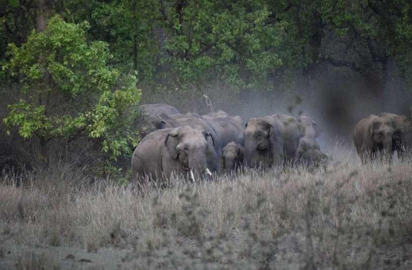 पहले जंगली हाथियों का उत्पात, अब गांवों की ओर बाघों का रुख, टेरिटरी छोड़ घूम रहे बाहर